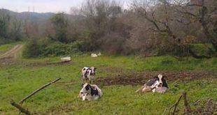 Σε «καραντίνα» μολυσμένη μονάδα βοοειδών στην Πρέβεζα