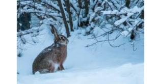 Το σχόλιο της ημέρας: Λαγός στο χιόνι…