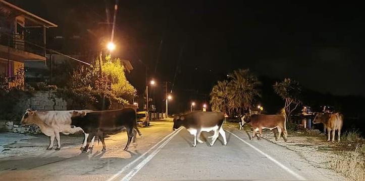Επίθεση βοοειδών σε Ι.Χ. στη Λυγιά!