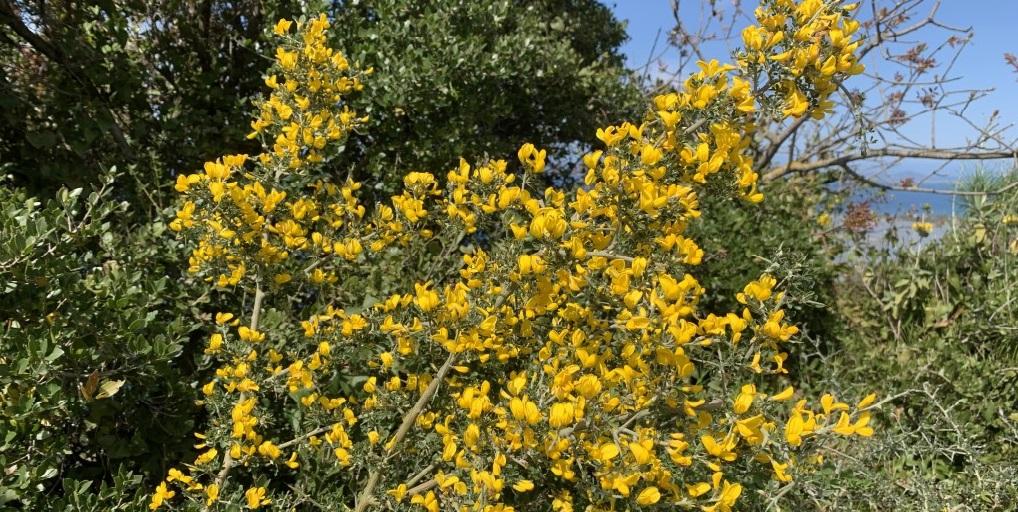 Τα τρία κίτρινα της Λευκαδίτικης ανοιξιάτικης χλωρίδας